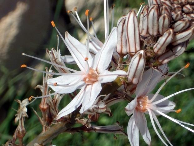 Flora (Albó)