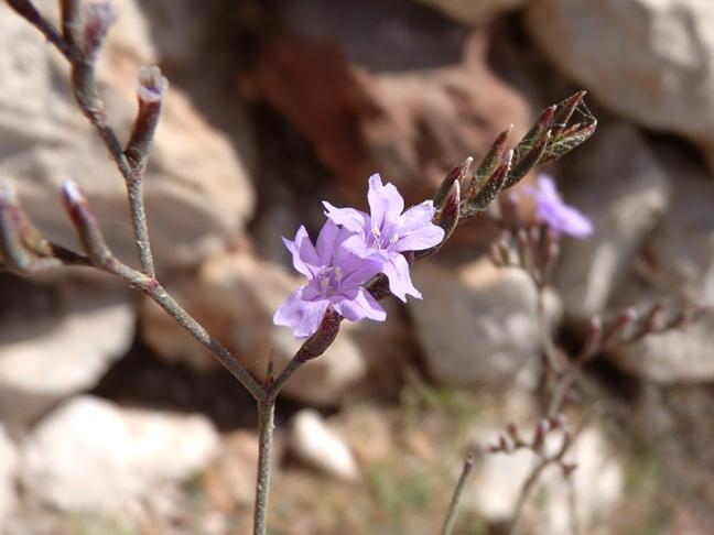 P1270761Limonium flora